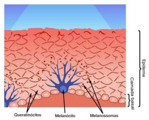 Figura 2: Inserção da melanina nos queratinócitos através dos dendritos melanocitários