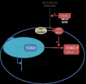 fosforilização foxo